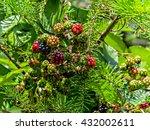 Wild Blackberry Bush Near Moun...