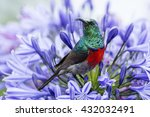 greater double collared sunbird ... | Shutterstock . vector #432032491