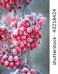 Close Up Of Bunches Of Rowan...