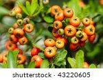 Chinese Firethorn
