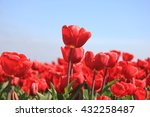Red Tulips On A Field Against ...