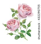English Roses. Watercolor