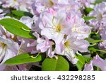Pink Azalea  Rhododendron In...