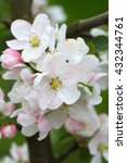 The White Pink Blossomed Apple...