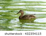 Wild Female Duck Swimming On...