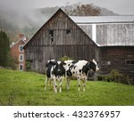 Vermont Holstein Cows And Barn