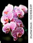 Small photo of beautiful tropical wide orchid flower,Vanda orchids