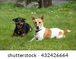 Portrait Of Two Jack Russell...