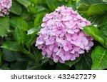 Beautiful Hydrangeas Flowers