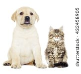 Stock photo gray kitten and puppy labrador 432458905