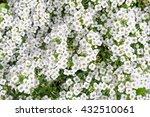 White Flowers Sweet William...