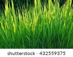 Small photo of Young acorus - cattail bush