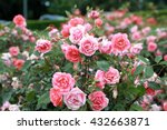 Stock photo rose garden 432663871