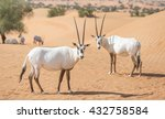Endangered Arabian Oryxes  Oryx ...