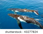two humpback whales in the ocean | Shutterstock . vector #43277824