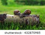 Grape Snail  Helix Pomatia