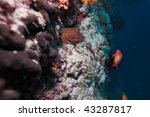 the giant moray  gymnothorax... | Shutterstock . vector #43287817