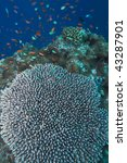Small photo of Coral of genus Acropora pharaonis, Maldives