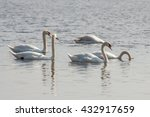 5 White Beautiful Swans On The...