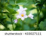 Potato Flowers Growing In The...