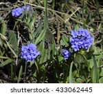 Small photo of Alpine Bluebells Boraginaceae (Borage)