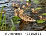 birds and animals in wildlife.... | Shutterstock . vector #433102591