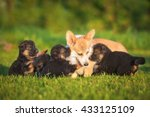 Stock photo pembroke welsh corgi dog playing with german shepherd puppies 433125109