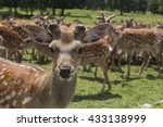 A Herd Of Deer On The Farm