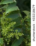 Small photo of ailanthus