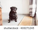 cute tiny black pug dog sitting ... | Shutterstock . vector #433271245