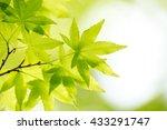 green leaf of japanese maple | Shutterstock . vector #433291747