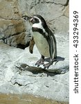 Small photo of African Penguin