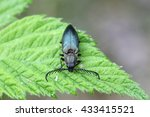 Small photo of Click Beetle (Ctenicera pectinicornis) on a leaf