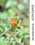 Small photo of The rose Abracadabra in garden