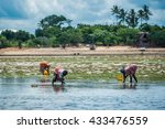 african women picking seaweed... | Shutterstock . vector #433476559