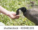 Image Of A Nene Goose Eating...