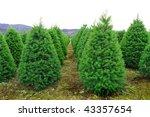 A Huge Oregon Christmas Tree...