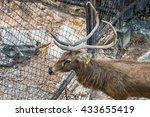 buck deer in the zoo   Shutterstock . vector #433655419
