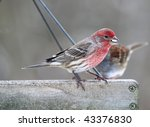House Finch Waiting On A Feeder ...