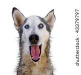 wolf mix making a funny face | Shutterstock . vector #43379797