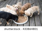 Stock photo terrier mix puppies eating from communal bowl outside on wooden deck 433864801
