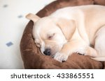 Stock photo terrier mix puppy sleeping on dog bed 433865551