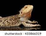 Bearded Dragon Llizard Lying O...