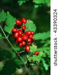 Small photo of baneberry (Actaea erythrocarpa), toxic plant
