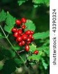 Small photo of baneberry (Actaea erythrocarpa), toxic plant