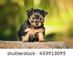 Little Yorkshire Terrier Puppy...