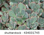Small photo of Closeup of Aeonium Haworthii plant in grey green and red spiky tip with raindrops, grown in Australia