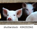 Close Up Of Heads Of Piglets I...