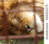 Lion In Captivity  Resting And...