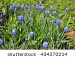 A Bed Of Blue Crocuses On A...